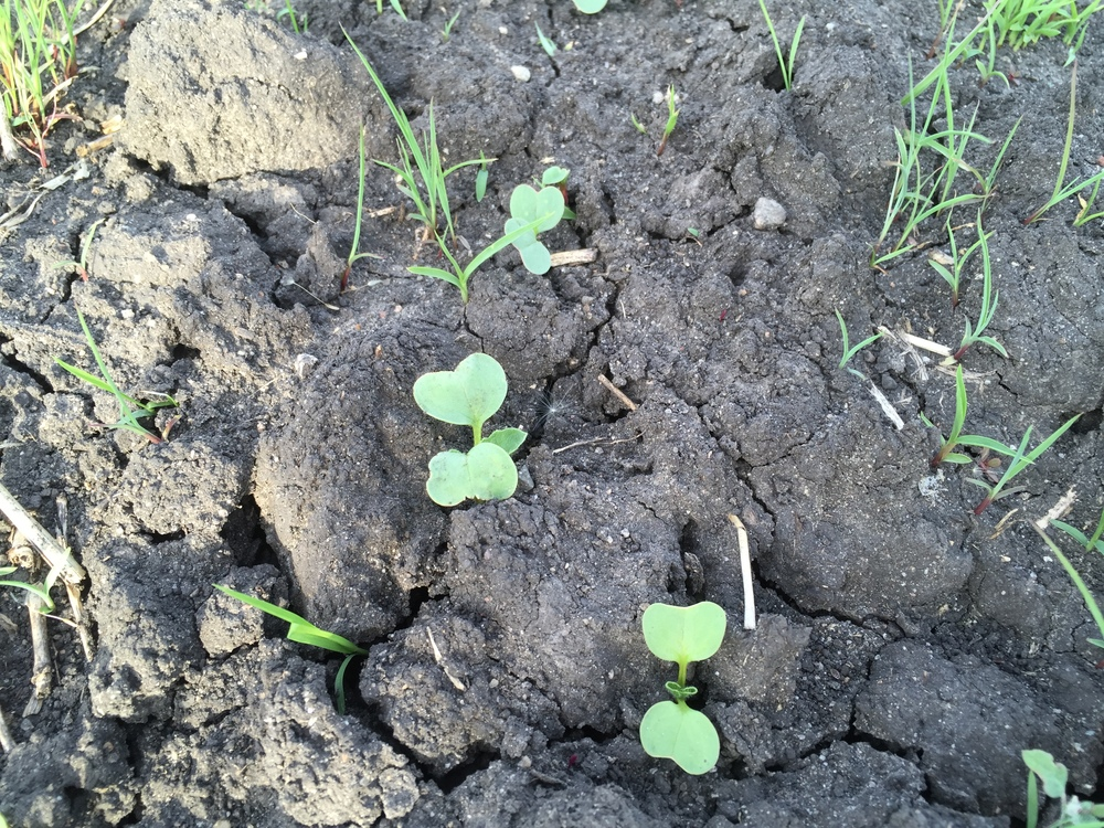 Radishes emerging from the soil.