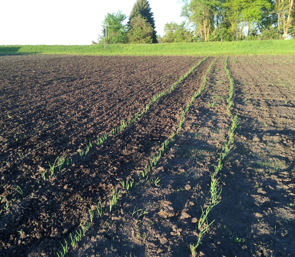 Onions are looking great.