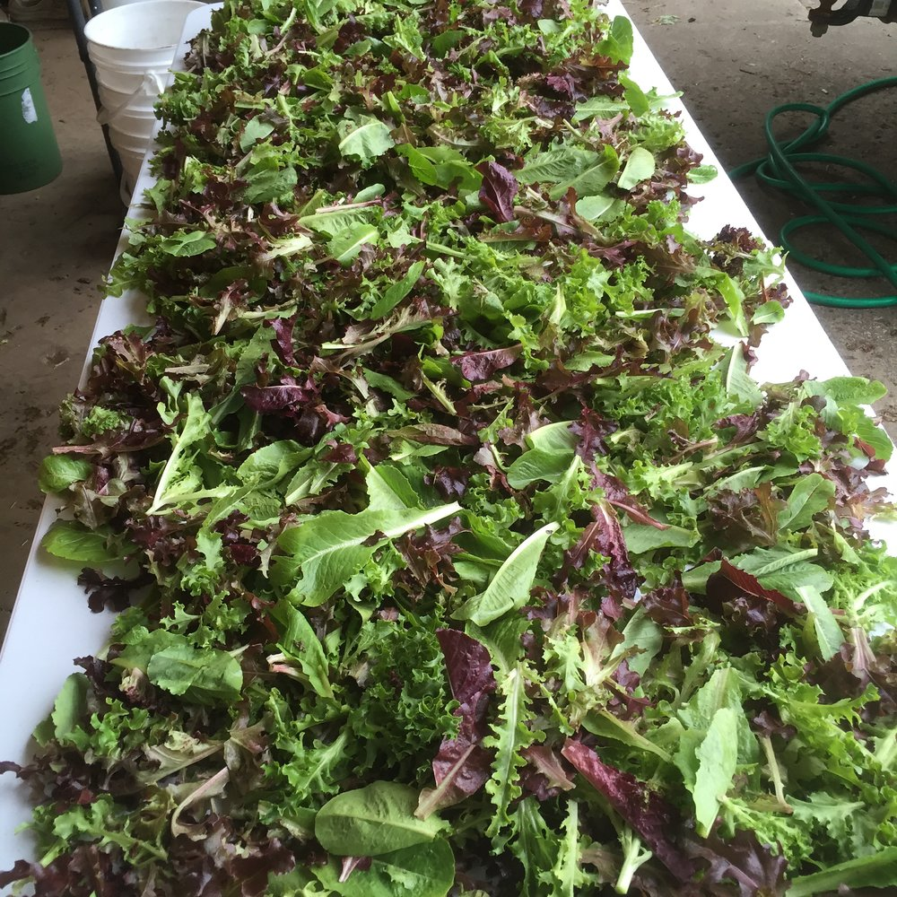 Lettuce mix from Johnny's seeds looks beautiful.