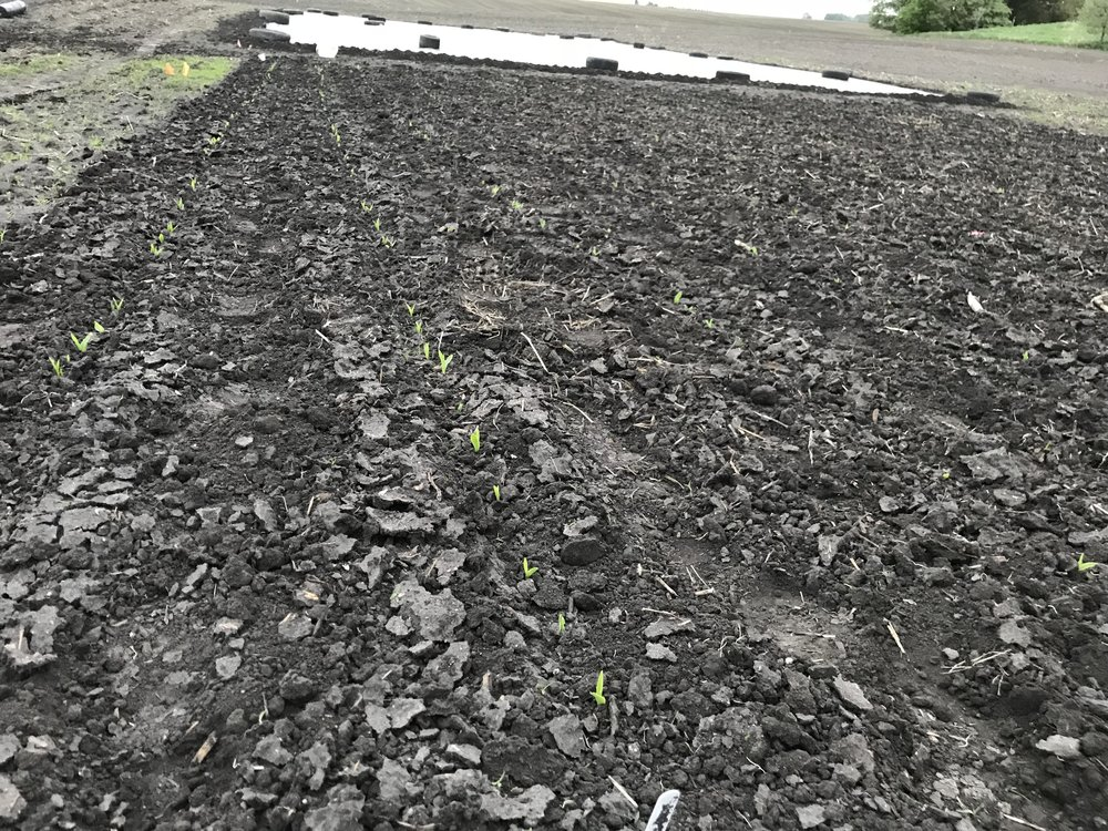 First cultivation of our sweetcorn