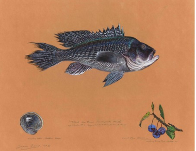 Black sea bass (  Centropristis striata  ), by James Prosek