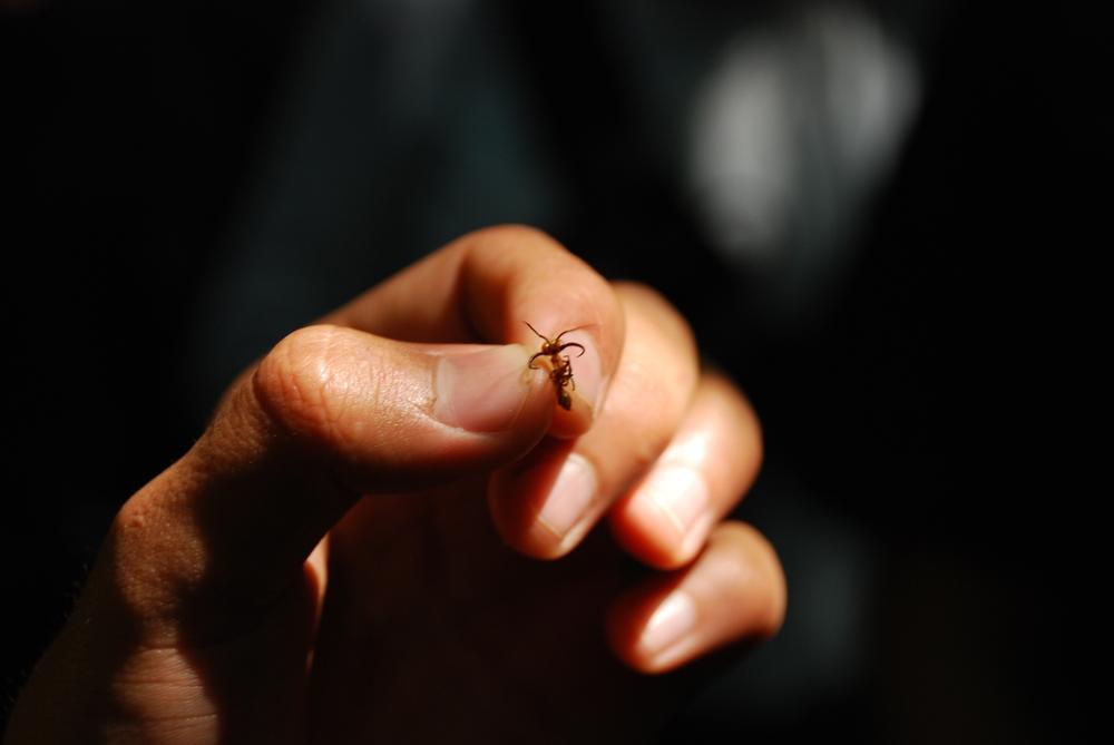 suture ant mandibles, Ecuador  Image: Annette Heist