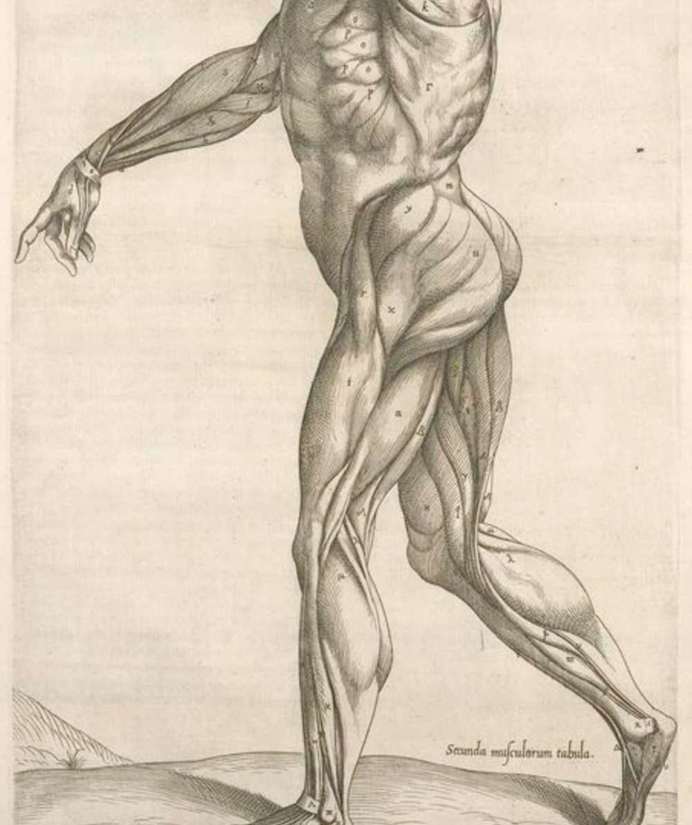 Detail from Secunda musculorum tabula. [Shows muscles in a walking position] by Geminus, Thomas (d. 1562); courtesy NYPL archives