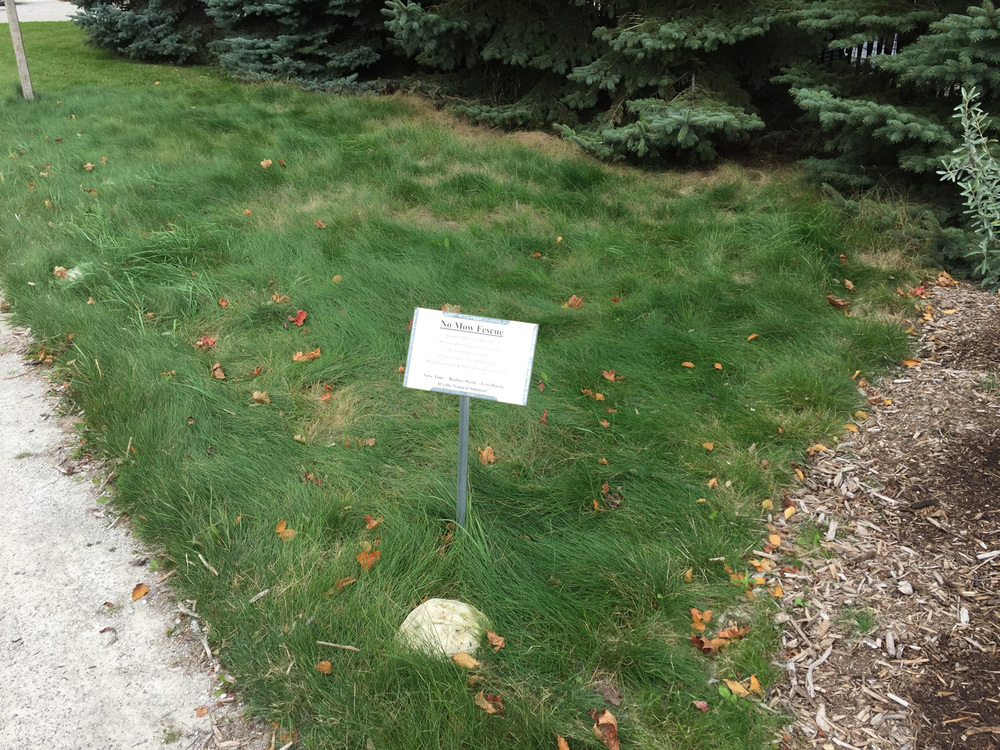 No-Mow Fescue demonstration plot at Door Landscape, photo taken October 2015