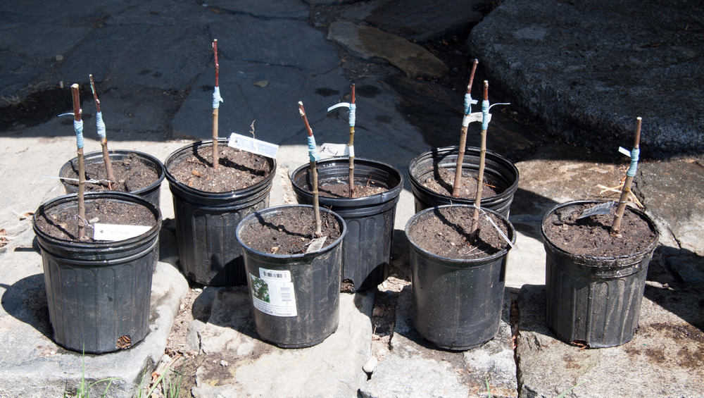 Grafted Apple Rootstocks