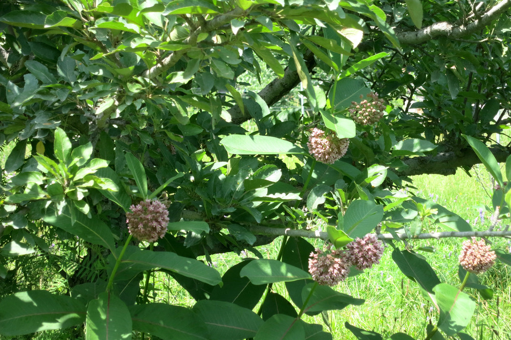 Milkweed under an Apple Tree