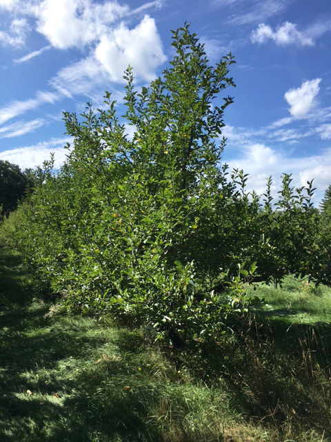 Macintosh Trees with no Apples, LH photo, Sept, 2016