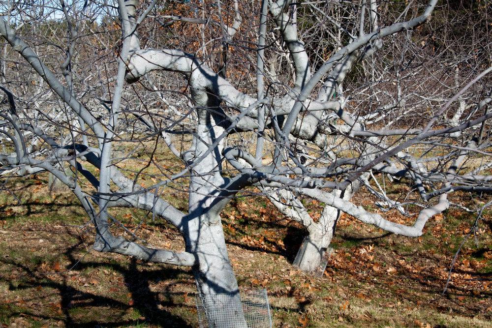 Apple Tree on a December Morning