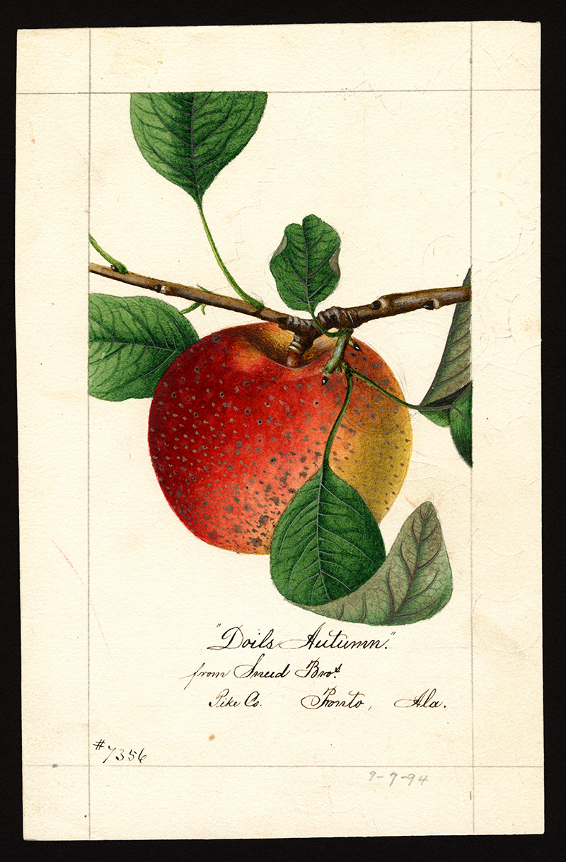Dolls Autumn Apple painted by William Henry Prestele, U.S. Department of Agriculture Pomological Watercolor Collection. Rare and Special Collections, National Agricultural Library, Beltsville, Maryland