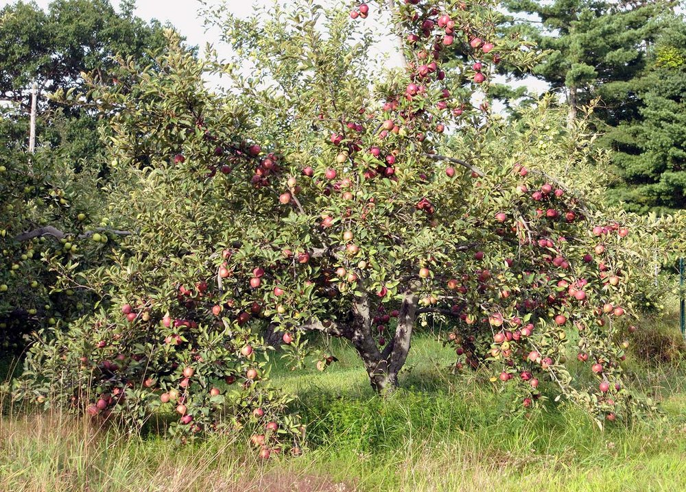 Apple Tree at Old Frog Pond Farm, 2013  Photo Credit: Linda Hoffman
