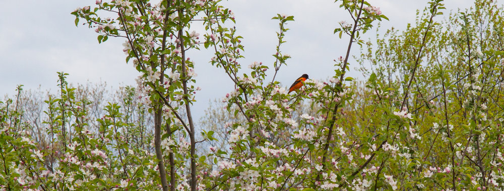A Baltimore Oriole enjoying sweet nectar from a Macintosh tree.