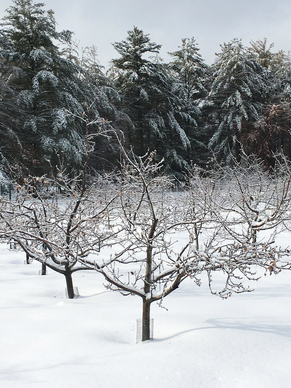 Snow in Orchard.jpg