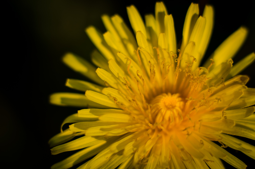 Dandelion macro shot close up