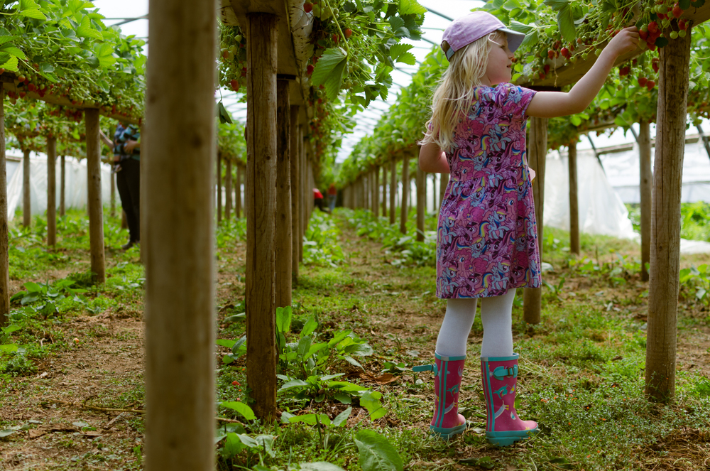 My daughter picking strawberries at Trevaskis Farm, Cornwall.