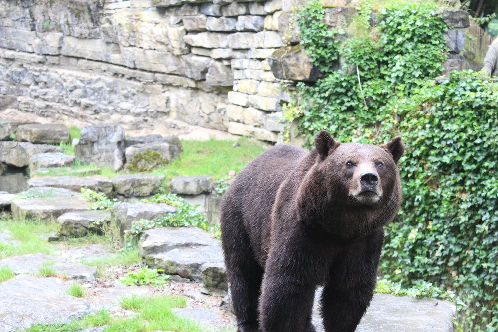 bruine beren han sur lesse