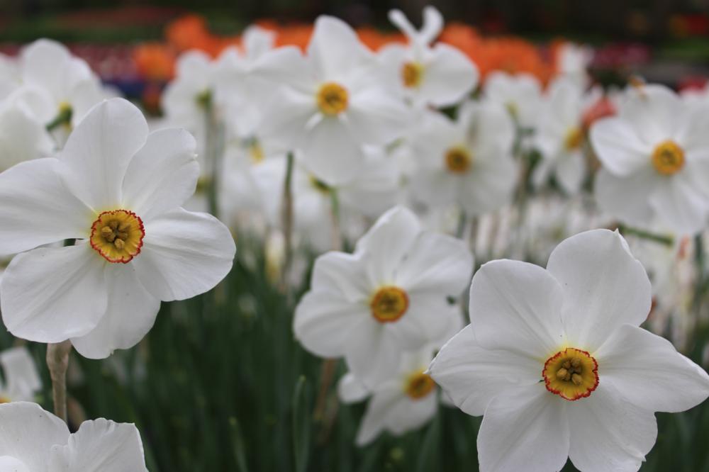 keukenhof witte bloem.png