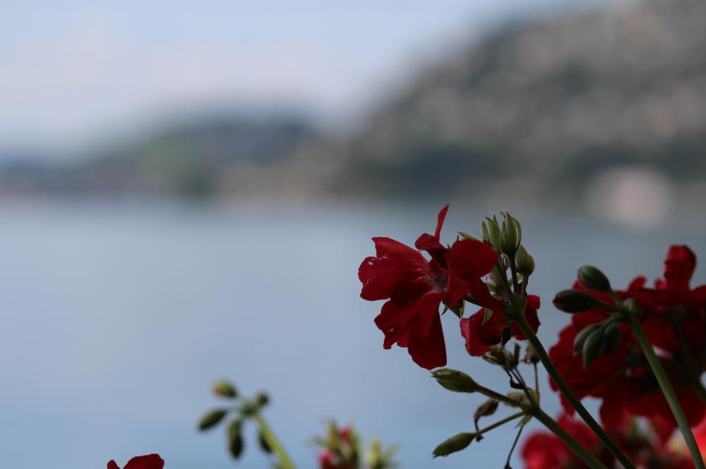 bloem vierwoudstedenmeer vitznau.png