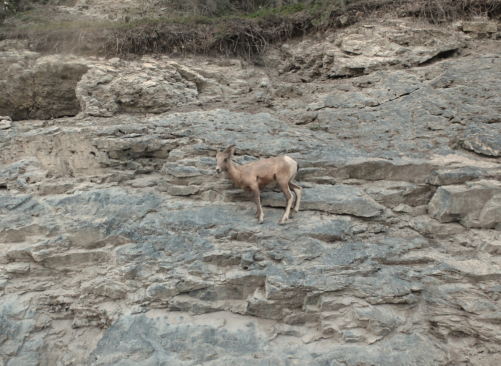 rock climbing goat