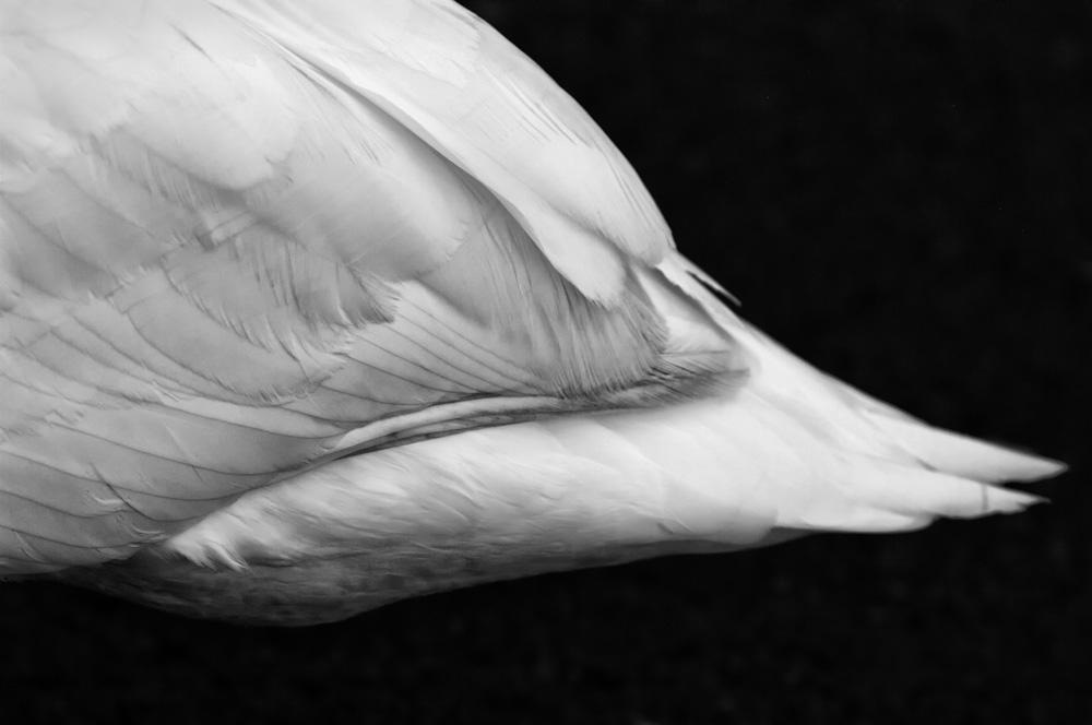 day_025_penrose_swans_0023.jpg
