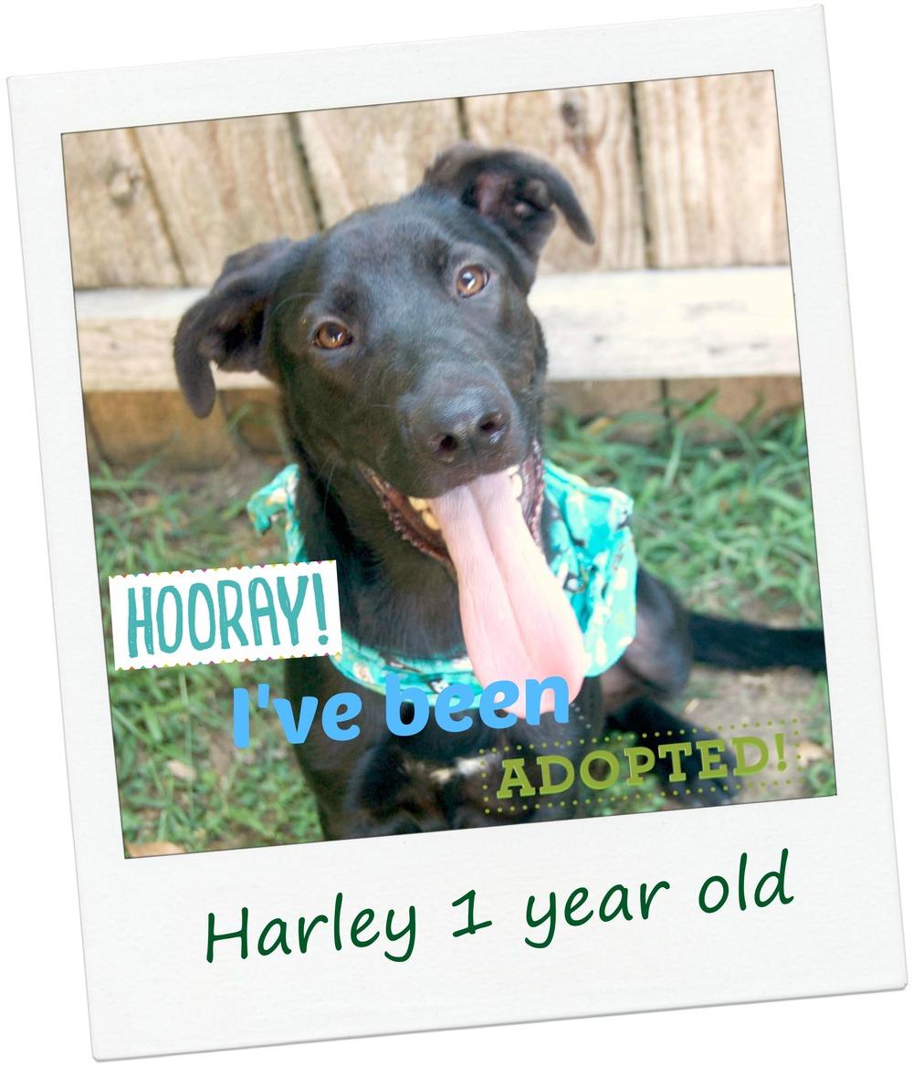Harley_adopt.jpg