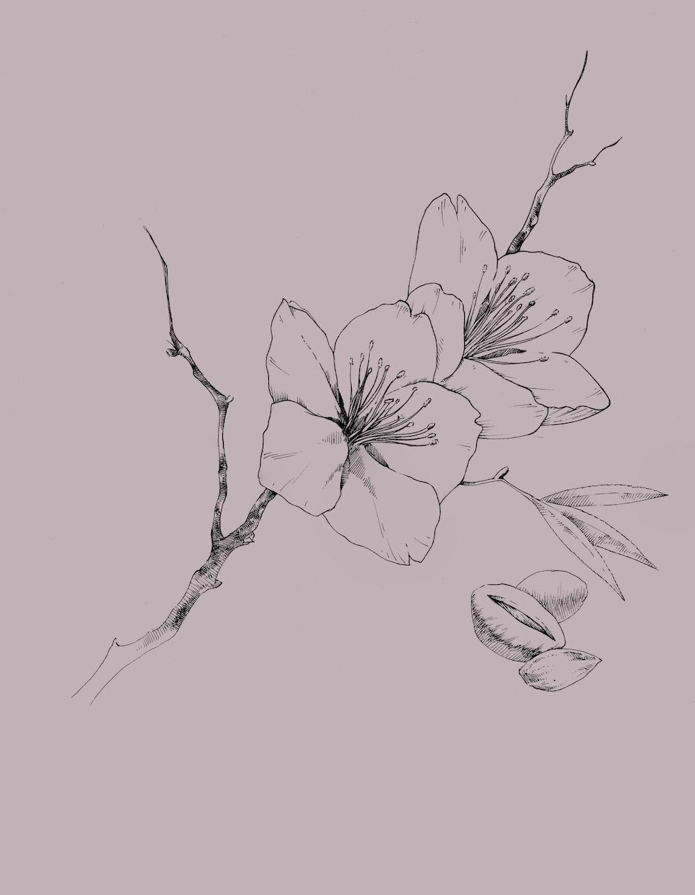 Prunus Dulcis.jpeg