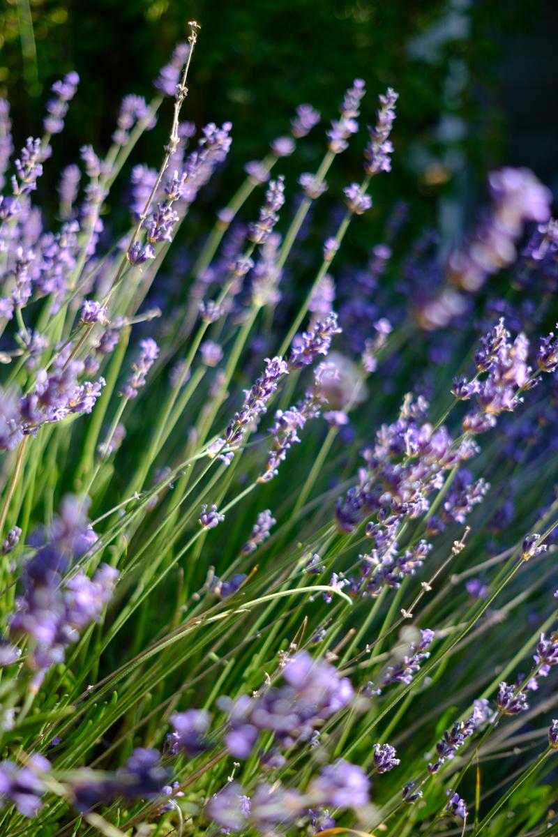 lavender-summer