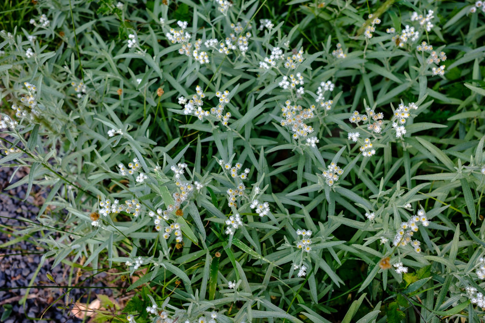 Pearly everlasting - a perennial in the sunflower family