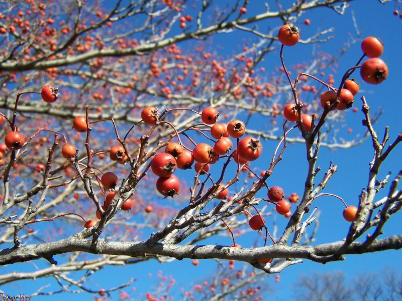 winter_king_hawthorne_berries.jpg