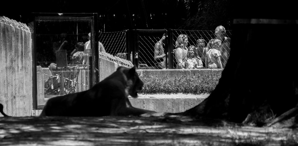 In photography tags lion black and white photography zoo wild life