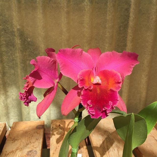 This is one of our Cattleya hybrids, which is now in bloom at its mature size. Each hybrid is started from seed and takes about 3-4 years to reach its mature size, which we determine based on both leaf and bloom size. #orchids #cattleya #OrchidsofEncinitas #cosgroveorchids #wesellwhatwegrow