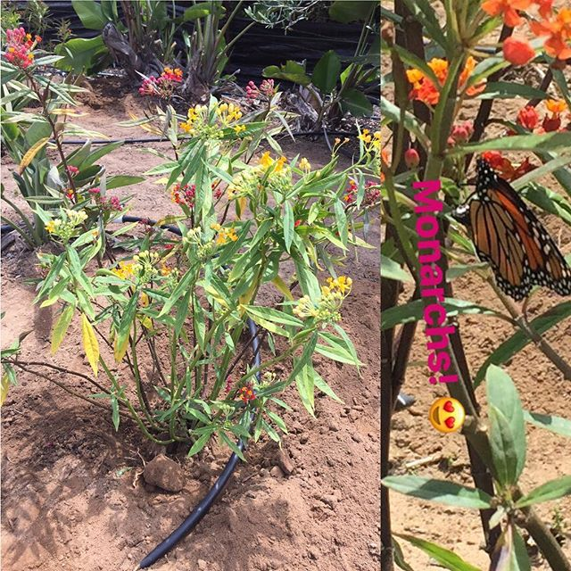 Want more butterflies in your life? The Monarch butterflies are just now starting to appear here at the nursery and we have milkweed plants now available for limited time.  In Southern California, these plants are a necessary component for the monarch larval stage serving as a necessary food source. They will tend to eat an entire plant during their season, so plant at least 1-2 plants in your yard, water 2-3 times per week in well drained soil, apply fertilizer and watch the monarchs roll in and began their transformation.  DO NOT USE ANY PESTICIDES OR SYSTEMICS, it will kill the butterflies. If aphids are an issue, treat with a soapy solution foliar spray.  #monarch #monarchbutterfly #milkweed #milkweedforthemonarchs #productofencinitas #cosgroveorchids