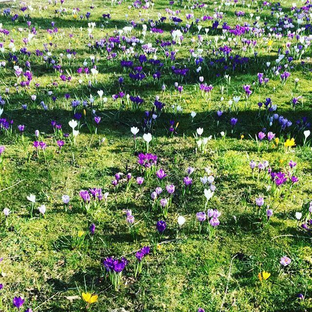 Looks like spring! #DutchScoop #dutchflowers