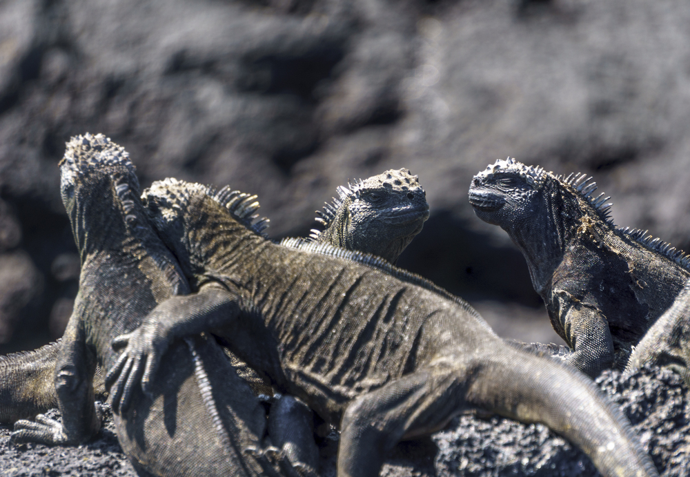 iguanas (1 of 1).jpg