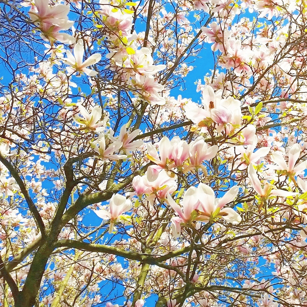 Magnolia trees in full bloom
