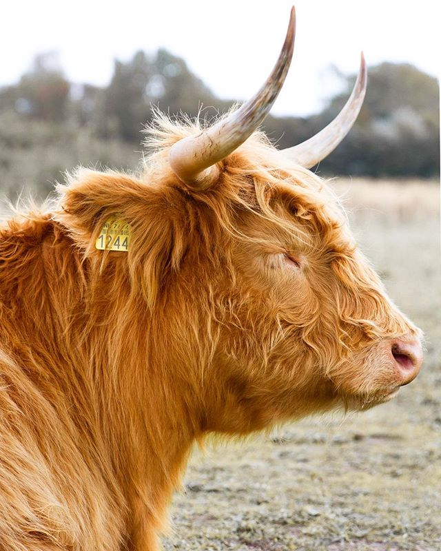 Highland cattle in Meijendaal. Majestic beasts to say the least. . . . #igersholland #igerseuropre #travel #explore #nederlands #thenetherlands #cntraveler #darling #mytinyatlas #darlingescapes