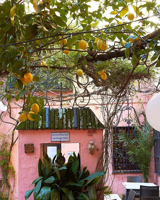 Seville is known for the thousands of oranges trees growing throughout the city, but this lemon tree really caught my attention. Unfortunately the courtyard was gated/barred off, so all I could do was try to get my lens between the cracks. . . . #glt #igersholland #igerseurope #canon #passionpassport #cntraveler #thatsdarling #mytinyatlas #spain #dametraveler #explore #expat #expatlife #plantsonpink #jungalowstyle