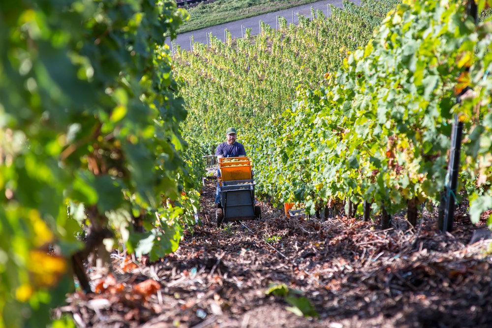 Wijn oogst Bopparder Hamm | Mittelrhein Duitsland