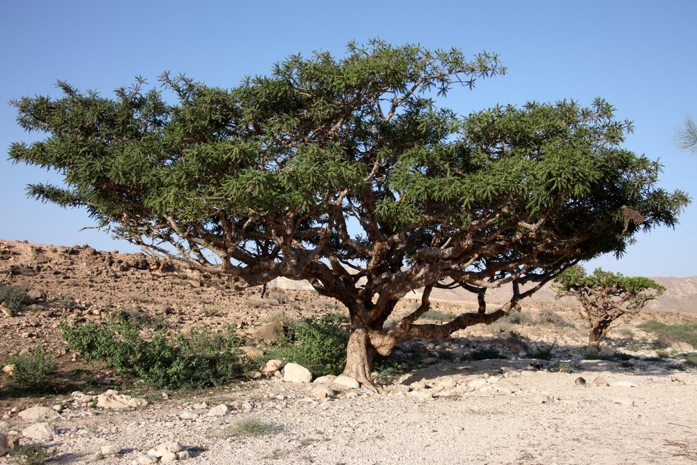 Giant Bonsai? Nope, it's a Frankincense Tree.
