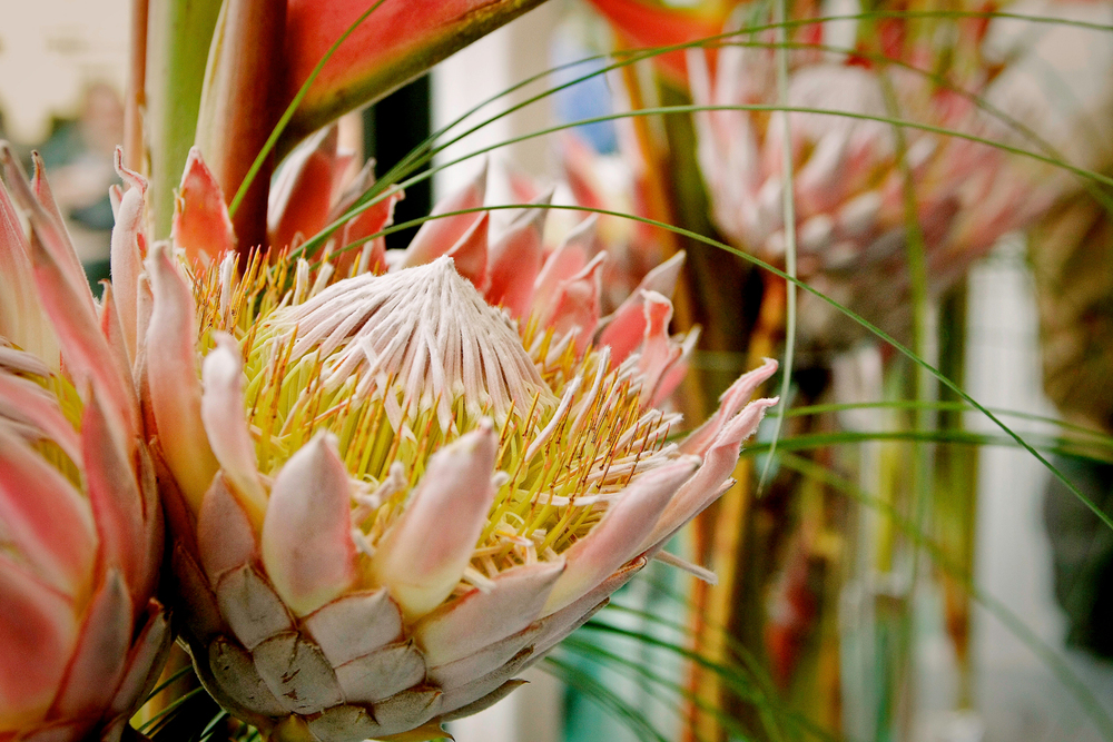 Pink Protea King Head