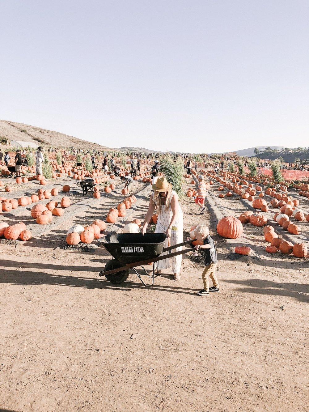 tanaka farms pumpkin patch wheelbarrow.JPG