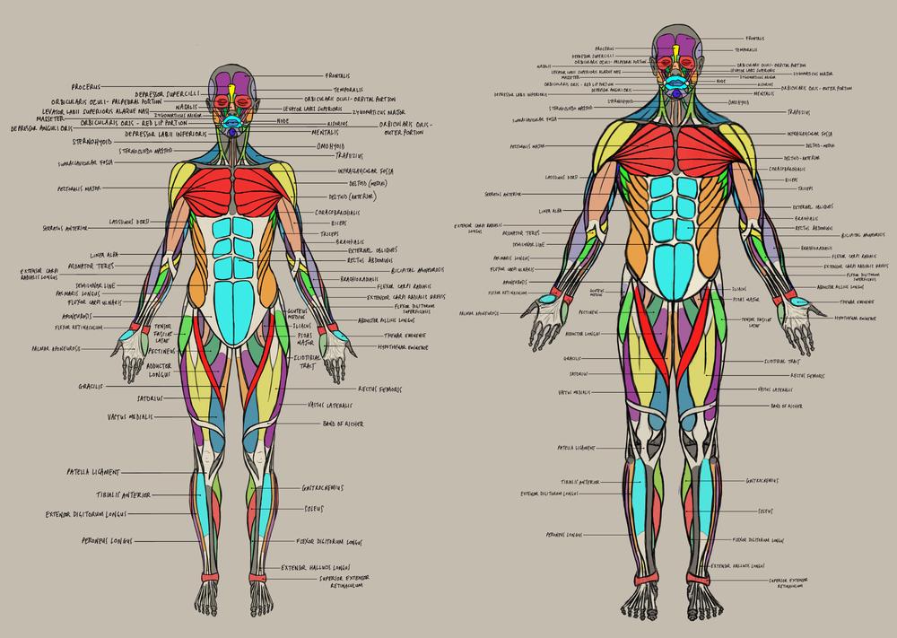 Anatomy Muscle Charts Jahirul Amin