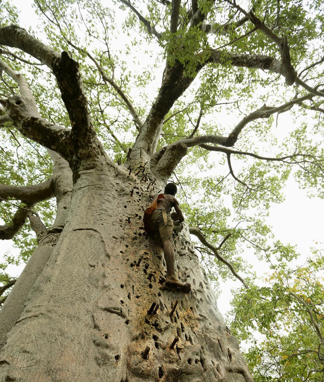 Climbing the honey tree.jpg