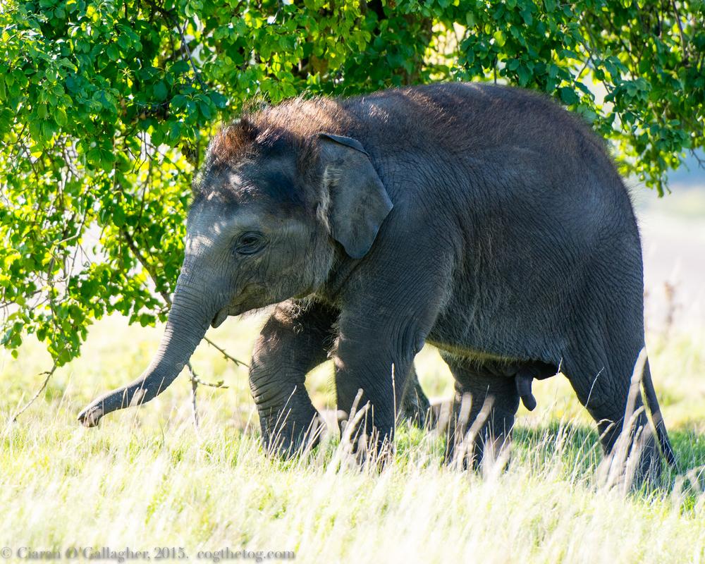 Infant Elephant, ZSL Whipsnade