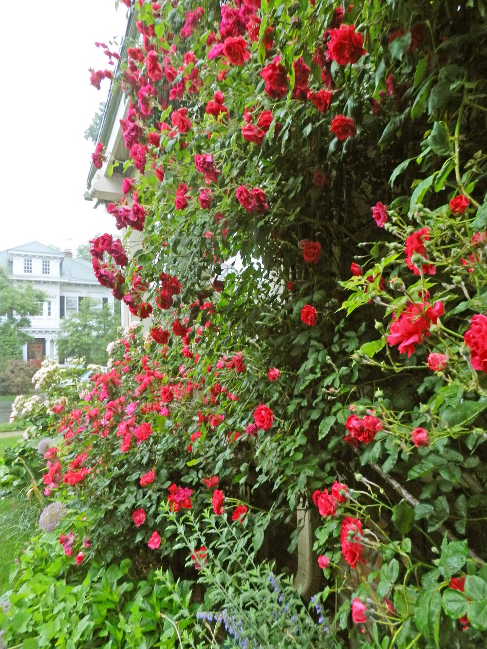 jed cutler spring roses 2013 011.JPG