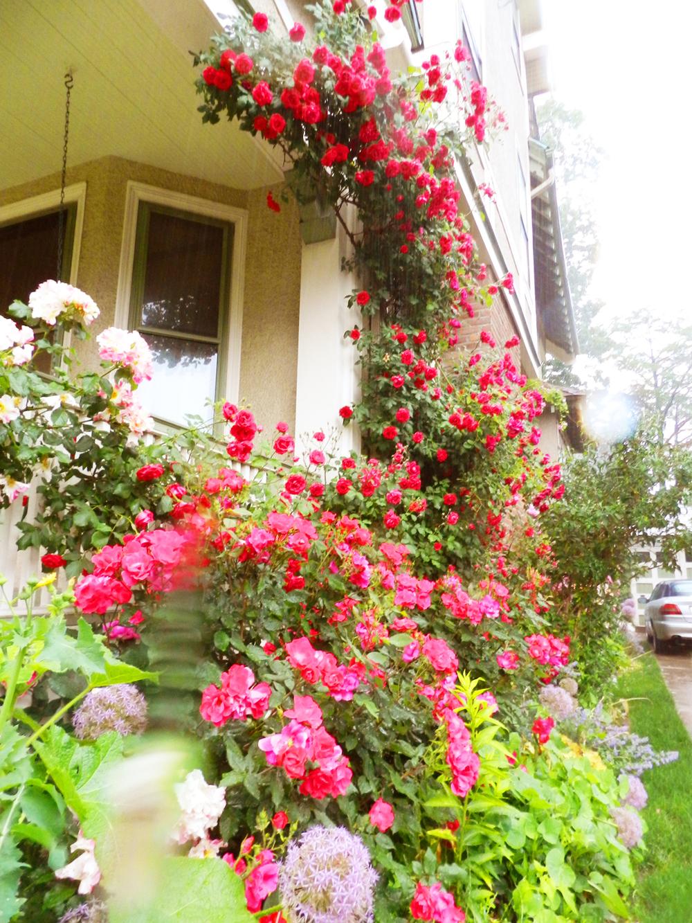 jed cutler spring roses 2013 007.JPG