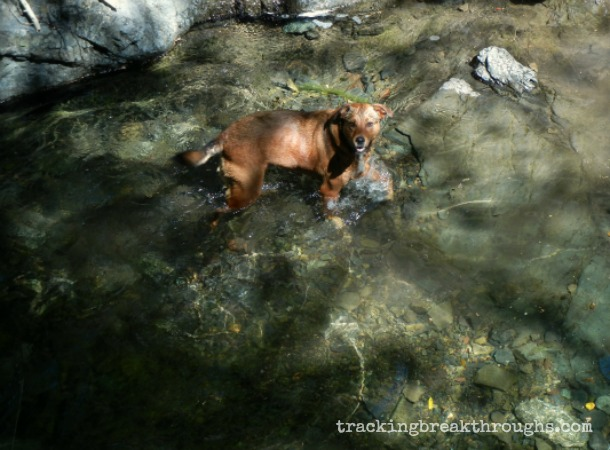 Rufus in creek