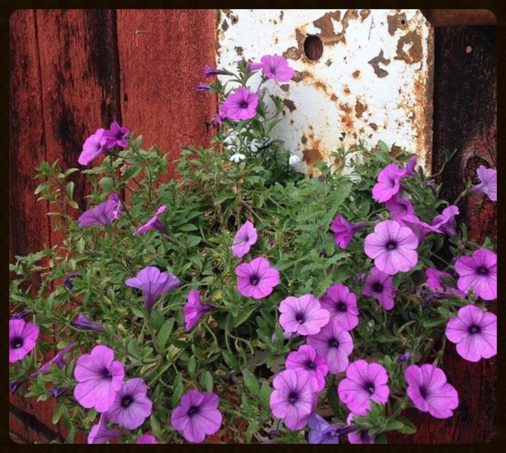 petunias.urinal.jpg