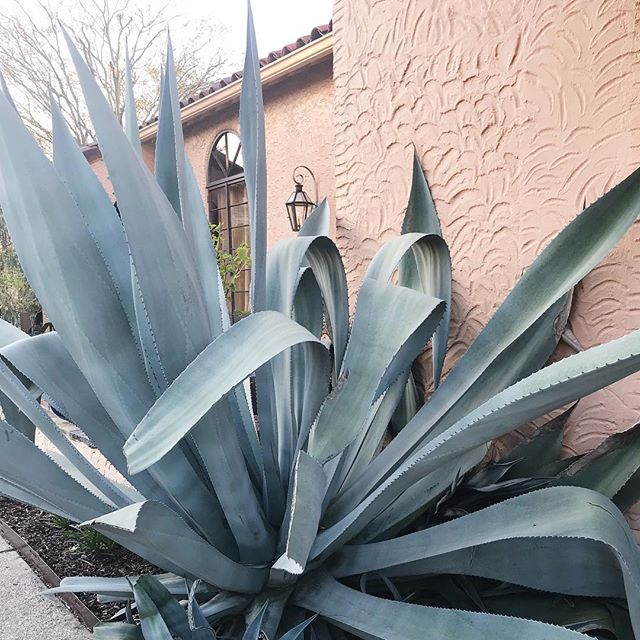 Around every corner in New Orleans is a perfect color palette. ✨ This gorgeous Agave plant is just chillin, being beautiful on this delicious Friday! . . . .  #oxalisapothecary #planttobody #naturalbeauty #naturalskincare #cleanbeauty #greenbeauty #plantbasedskincare #nontoxicskincare #organicskincare #skincareobsessed #indiebeauty #agave #friyay #plantlove #tropicalvibes #naturemagic #colorpalette #neworleanslife #inspiration #naturalhabitat #botanicalbeauty #prettypalette