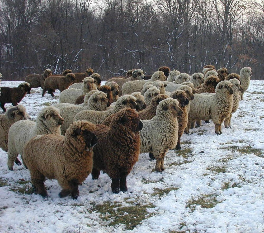 Some of the sheep this yarn comes from.