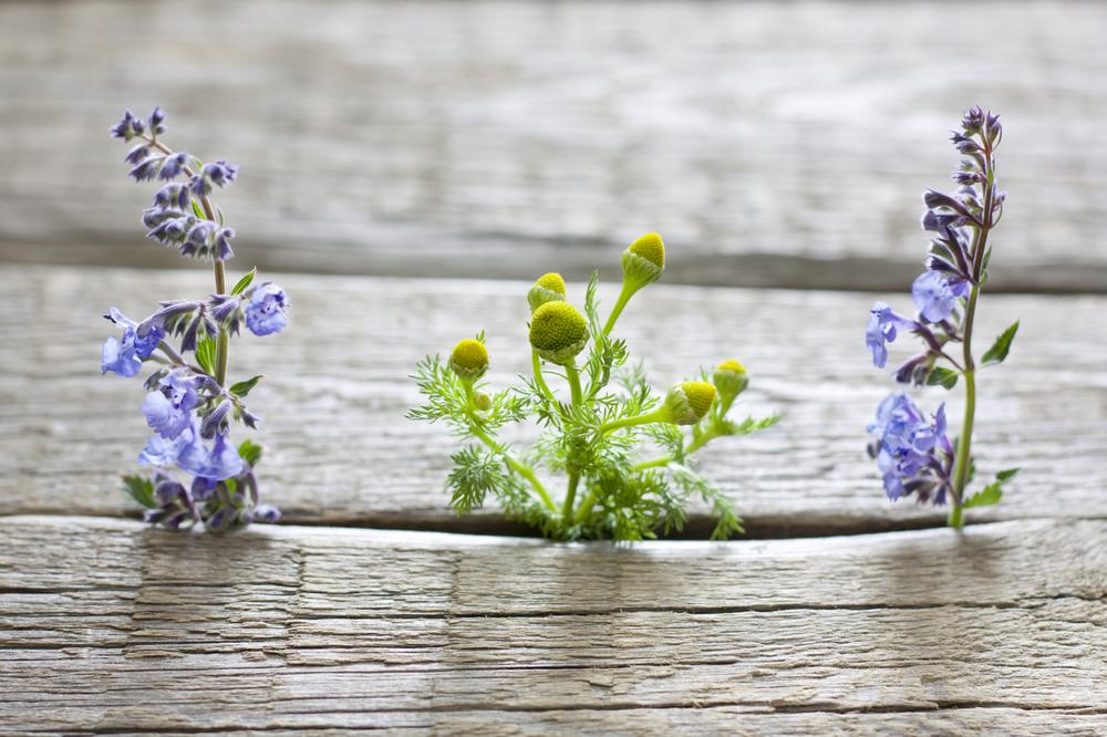 chamomile in wood.jpg